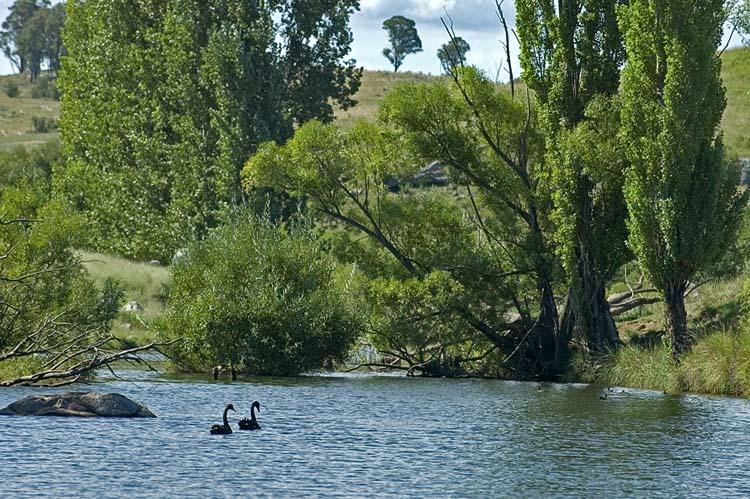 Blacks swans on gara river