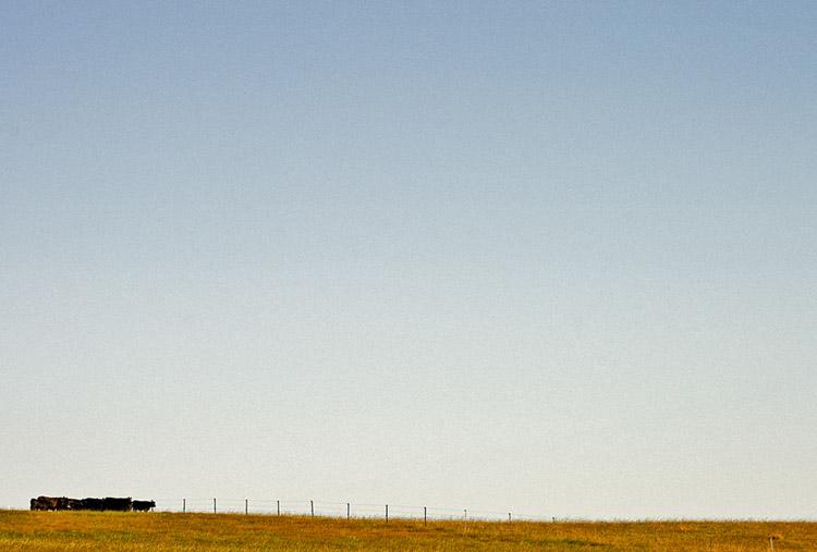 Black cattle under a big sky