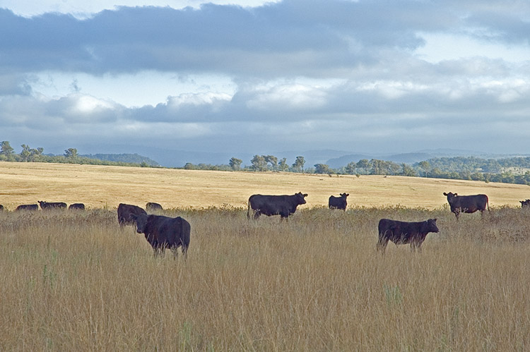 Cattle in paddock