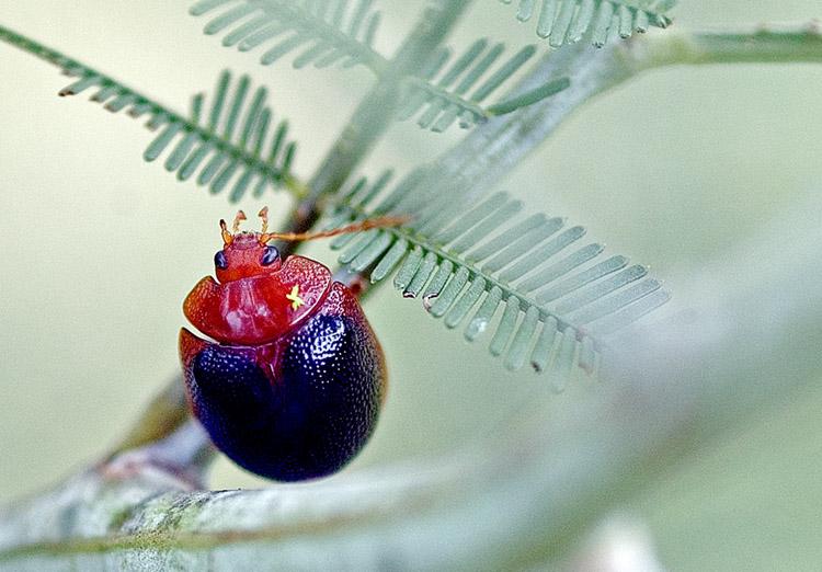 Bug on wattle