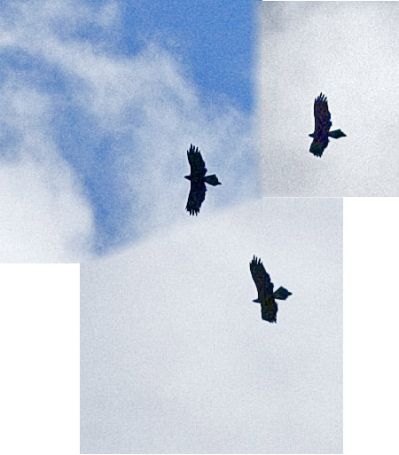 Eagles soaring
