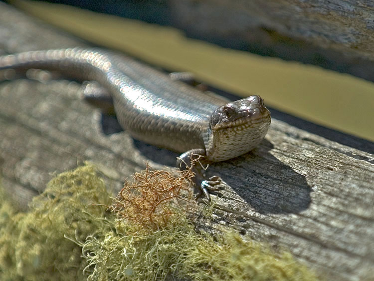 Lizard on fence post
