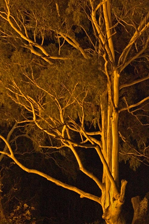 Gum tree bathed in sodium light