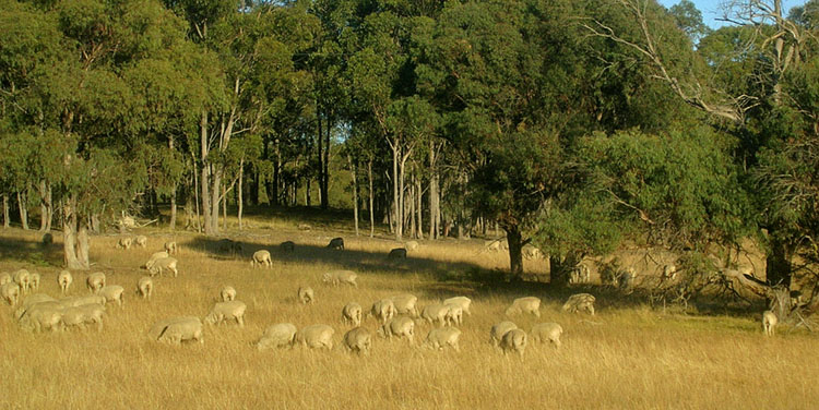 Sheep and grasses merge in colour