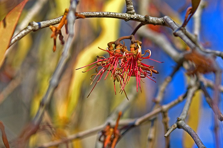 Winter flower: mistletoe