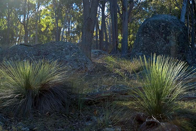 Young grass trees
