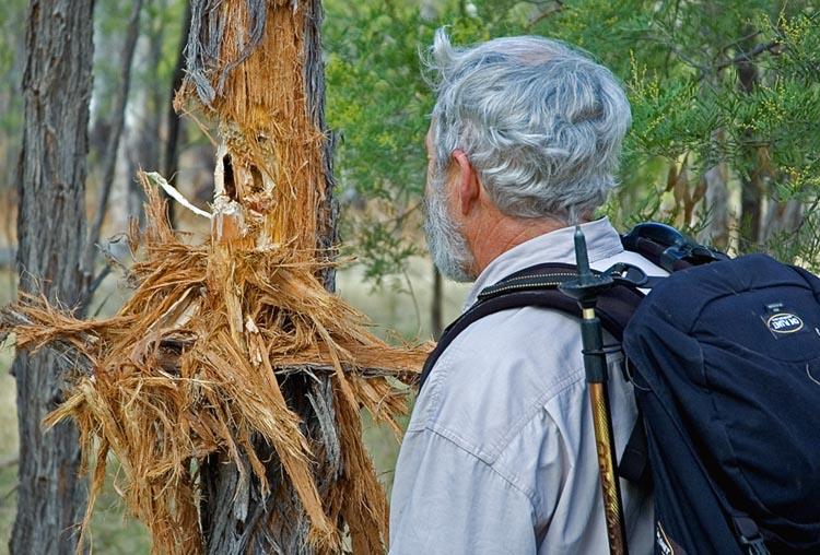 Cockatoo damaged trees
