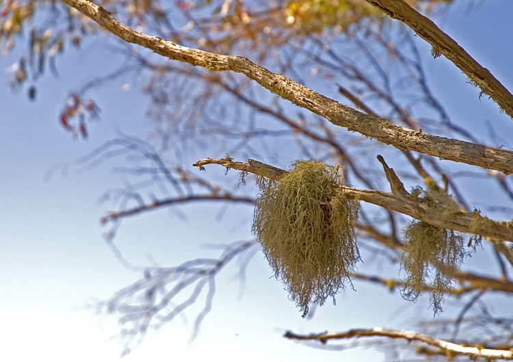 Nest-like lichen
