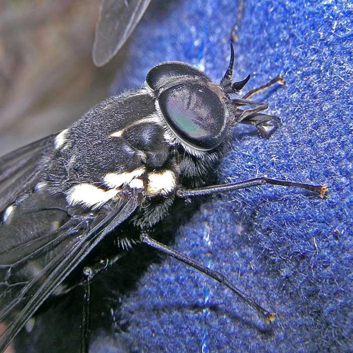 Bloodsucking fly
