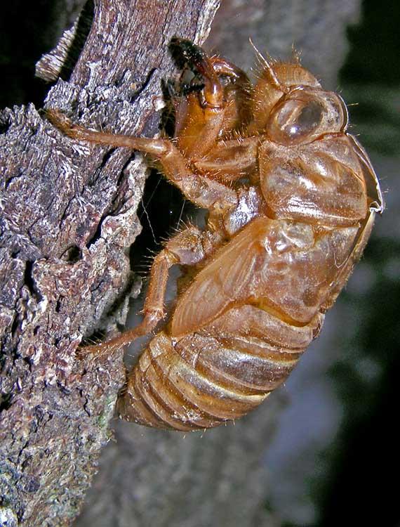 Empty cicada shell