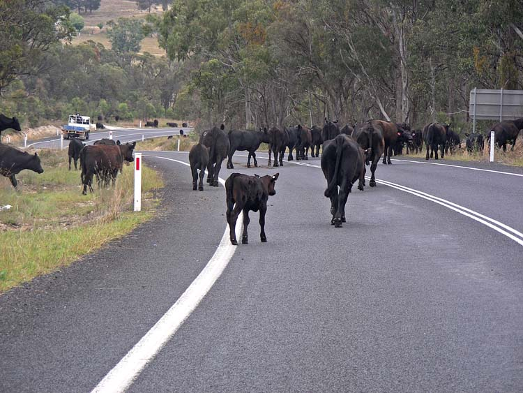 Cattle foraging on the roadside