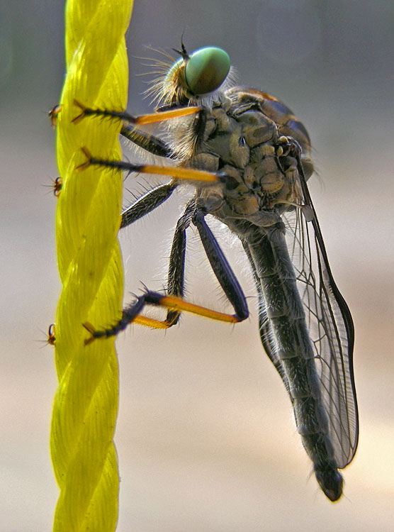 Fly at rest on yellow cord