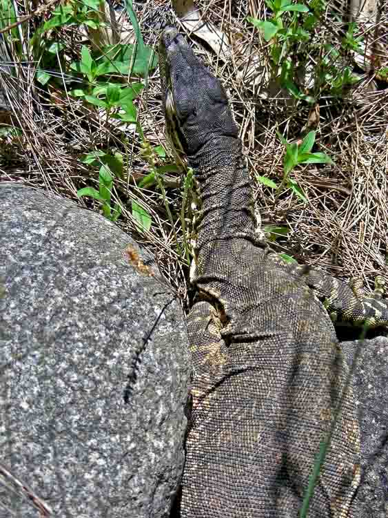 Goanna below