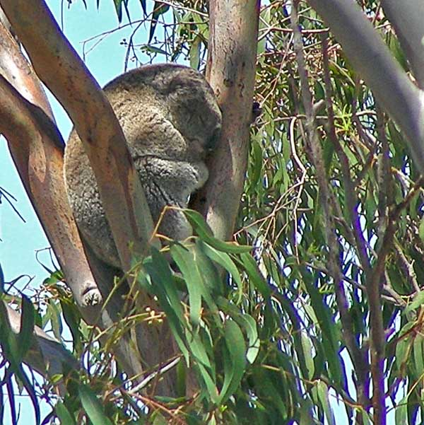 Koala snoozing in gum tree