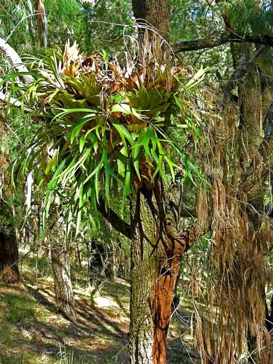 Elkhorn in tree