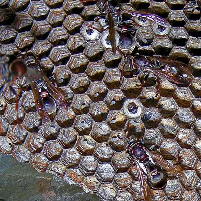 Eggs in bee comb