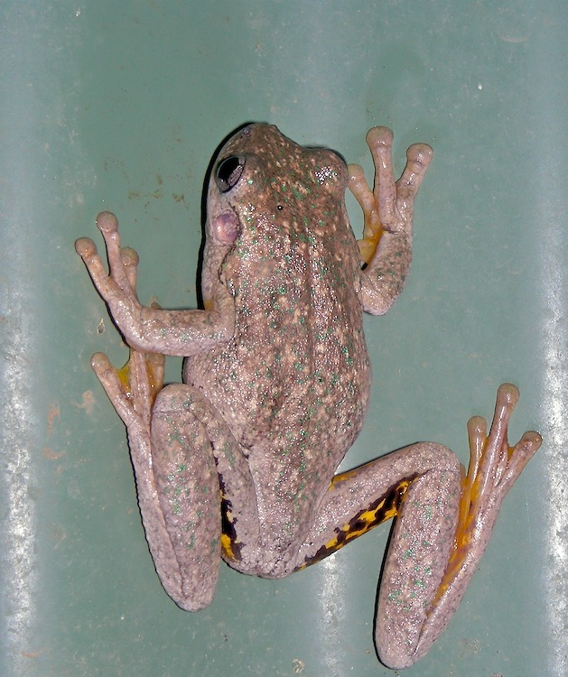 Green speckled frog