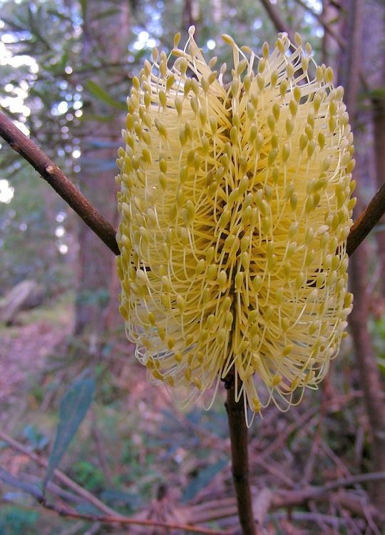 Bansia flower