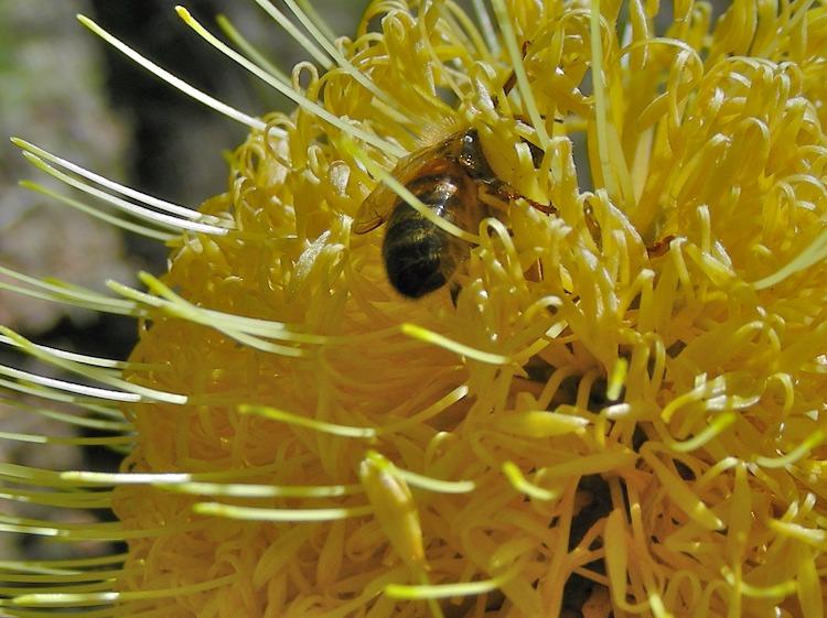 Bee in Banksia flower