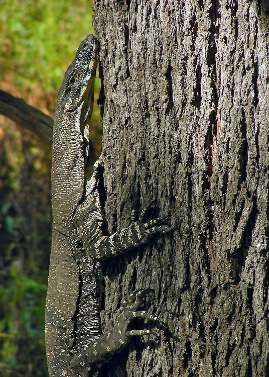 Goanna on side of tree