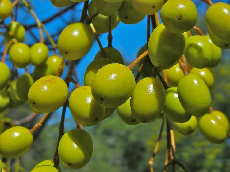 White Cedar fruit