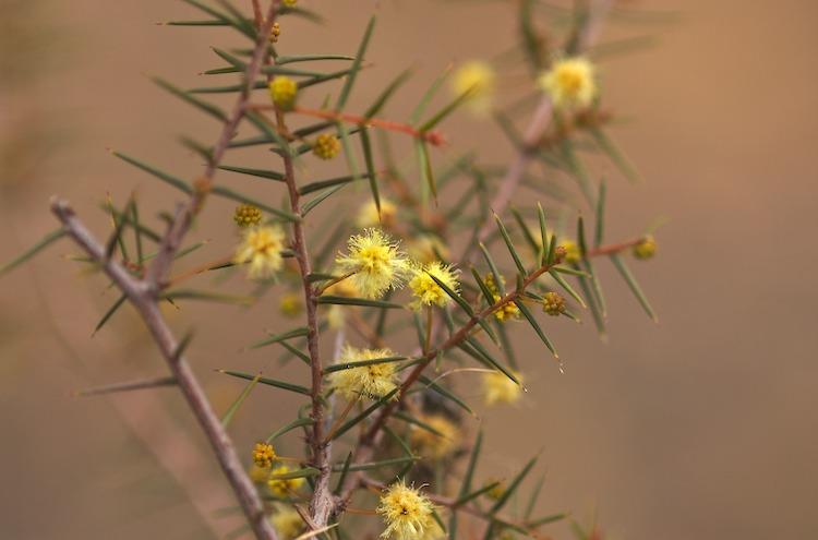Wattle flowering