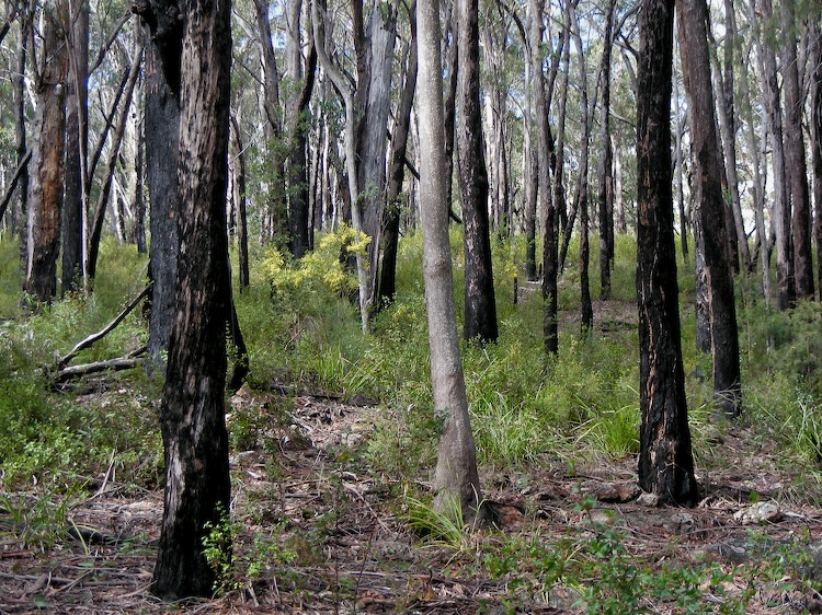 Fire blackened trees