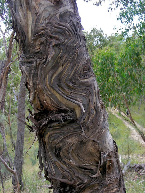 Twisted bark « lookANDsee Different Types Of Tree Bark