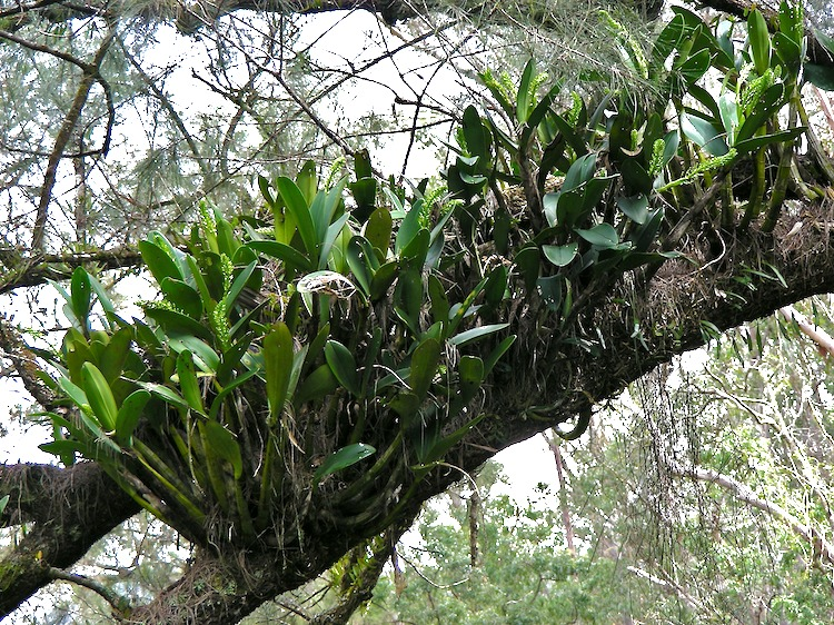 Top Creek Epiphytic Orchid also Creative Decorating With Orchids And A Great Trick For Growing Them further Species moreover Orchids Enchantingly Beautiful Beautifully Easy further Blogarticles. on just growing orchids